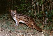 Jabady-civet-carnivore-Eupleridae-endemic-000407