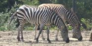 Pittsburgh Zoo Zebras