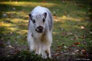Wild yak calf