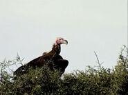 HugoSafari - Vulture04