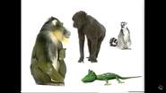 Mandrills Gorillas and Ring Tailed Lemurs
