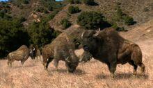 NG.Prehistoric.Predators.01of03.Sabertooth.Dvdrip.XviD.MP3.LionsDen.avi snapshot 43.30 -2016.10.07 04.38.57-