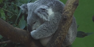 Riverbanks Zoo Koala