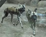 San Antonio Zoo Dogs