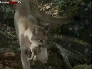 TASWSAJ Cougar