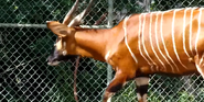 Denver Zoo Bongo