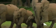 MMHM Forest Elephants