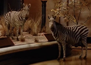 NatM Zebras