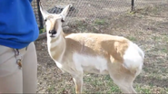 Rolling Hills Zoo Pronghorn2