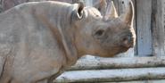 Chester Zoo Black Rhinoceros