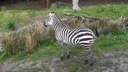 DAK Grant's Zebra
