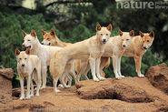 Dingos (Animals)