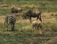 HugoSafari - Zebra&Wildebeest01