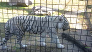 Rolling Hills Zoo White Tiger