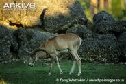 Male-Armenian-mouflon