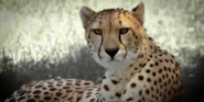 Canberra Zoo Cheetah