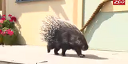 Columbus Zoo African Porcupine
