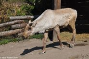 Eastern Woodland Caribou