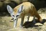 Finn the Fennec Fox