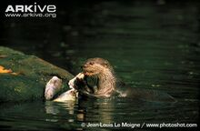 Smooth-coated-otter-eating-fish