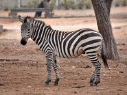 Zebra, Grant's (V2)