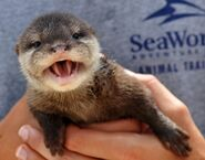 Asian small-clawed otter pup