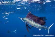 Atlantic-sailfish-hunting-sardine