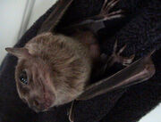 Bat, Egyptian Fruit