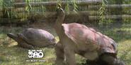 Blank Park Zoo Tortoises