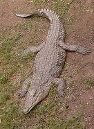170px-NileCrocodile-SRG001c