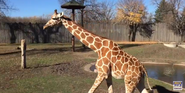Great Plains Zoo Giraffe
