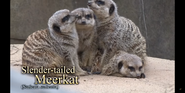 Louisville Zoo Meerkats