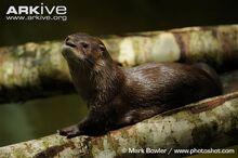 Neotropical-otter-resting