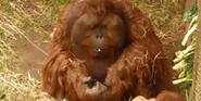 Woodland Park Zoo Orangutan