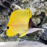 Yellow Long Nose Butterflyfish