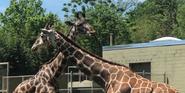Cameron Park Zoo Giraffes