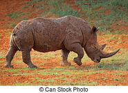 Mud-covered-white-rhinoceros-a-white-rhinoceros-ceratotherium-simum-covered-in-mud-south-africa-stock-photograph csp45815993
