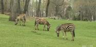 North Carolina Zoo Zebras