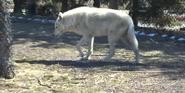 Toledo Zoo White Wolf