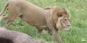 Utah Hoogle Zoo Lion