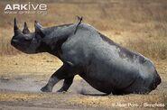 Black-rhinoceros-dust-bathing