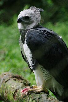 Harpia harpyja -Sao Paulo Zoo, Brasil -adult-8a