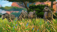 Zebras in Cabela's African Adventures