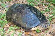 Bornean Giant Turtle
