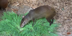Cleveland Metroparks Zoo Agouti