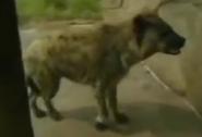 Fort Wayne Children's Zoo Hyena
