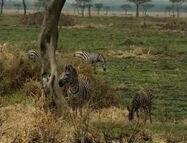HugoSafari - Zebra04