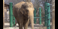 Louisville Zoo Indian Elephant