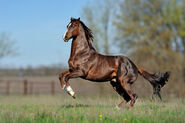 Thoroughbred-horse