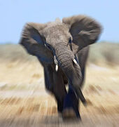 Web 257827 457008 African Elephant
